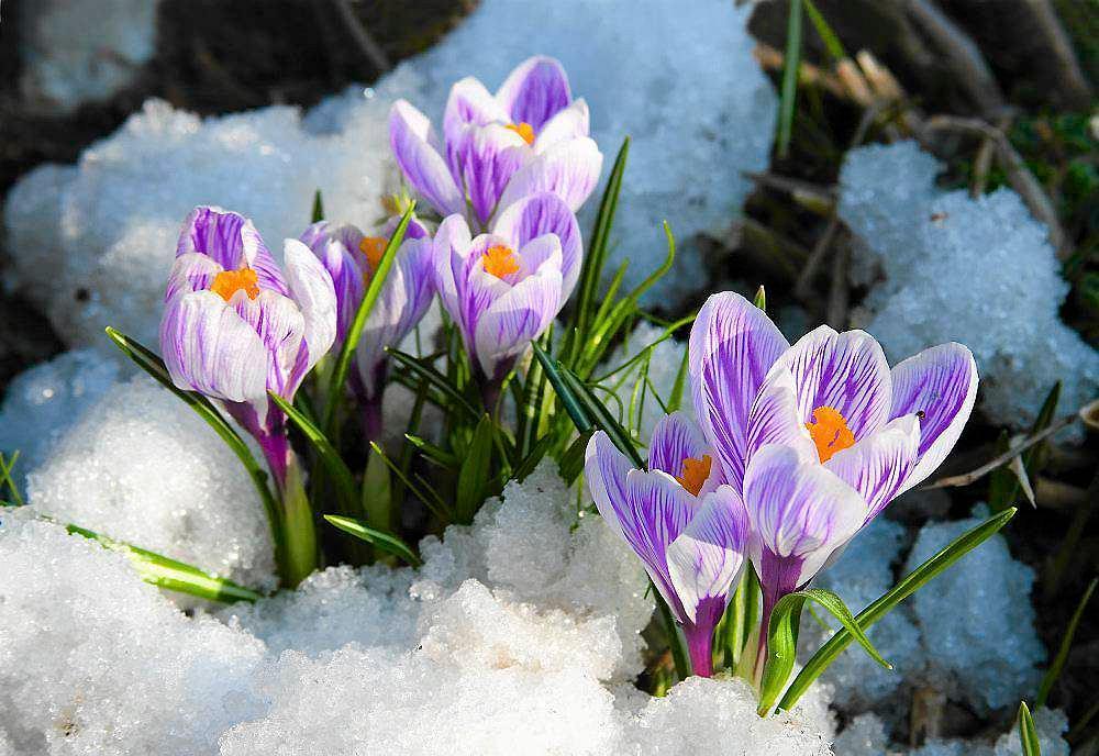 Krokusy już są to i wiosna niedaleko   Krokusy.Dolina Chochołowska. Wiosna    Sądeczanin.info
